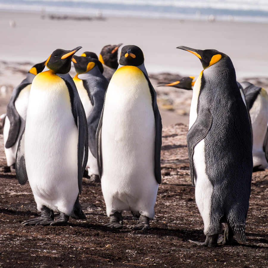 King Penguins - Falkland Islands