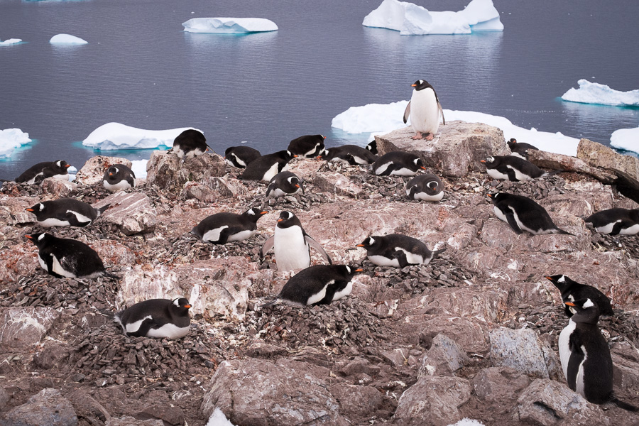 Gentoo Penguin nests in Colony -Cuverville Island - Antarctica