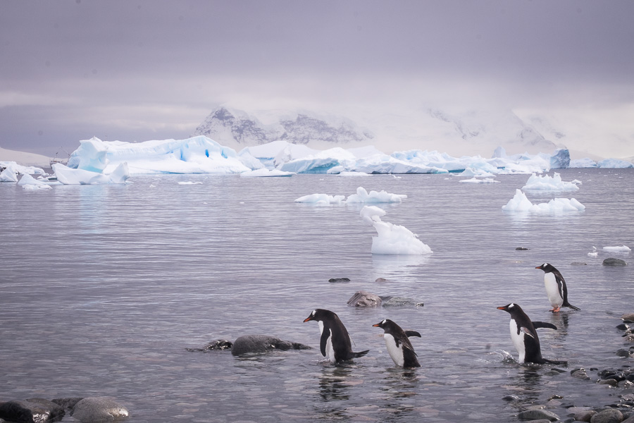 Gentoo Penguins entering the water - Cuverville Island - Antarctica