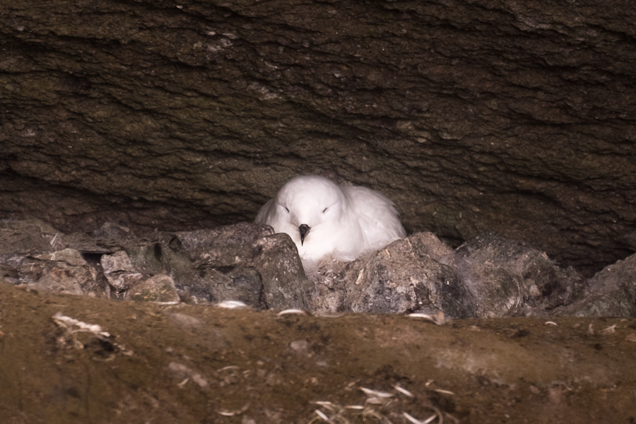 Snow Petrel - Brown Bluff - Antarctic Peninsula