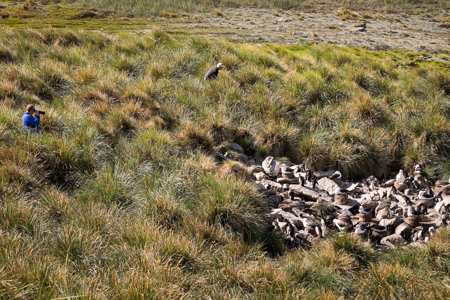 Albatross colony - West Point Island - Falkland Islands