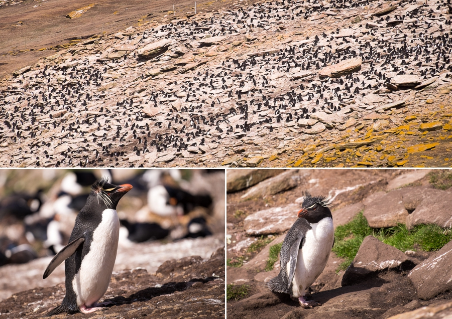 Rockhopper Penguins - Saunders Island - Falkland Islands