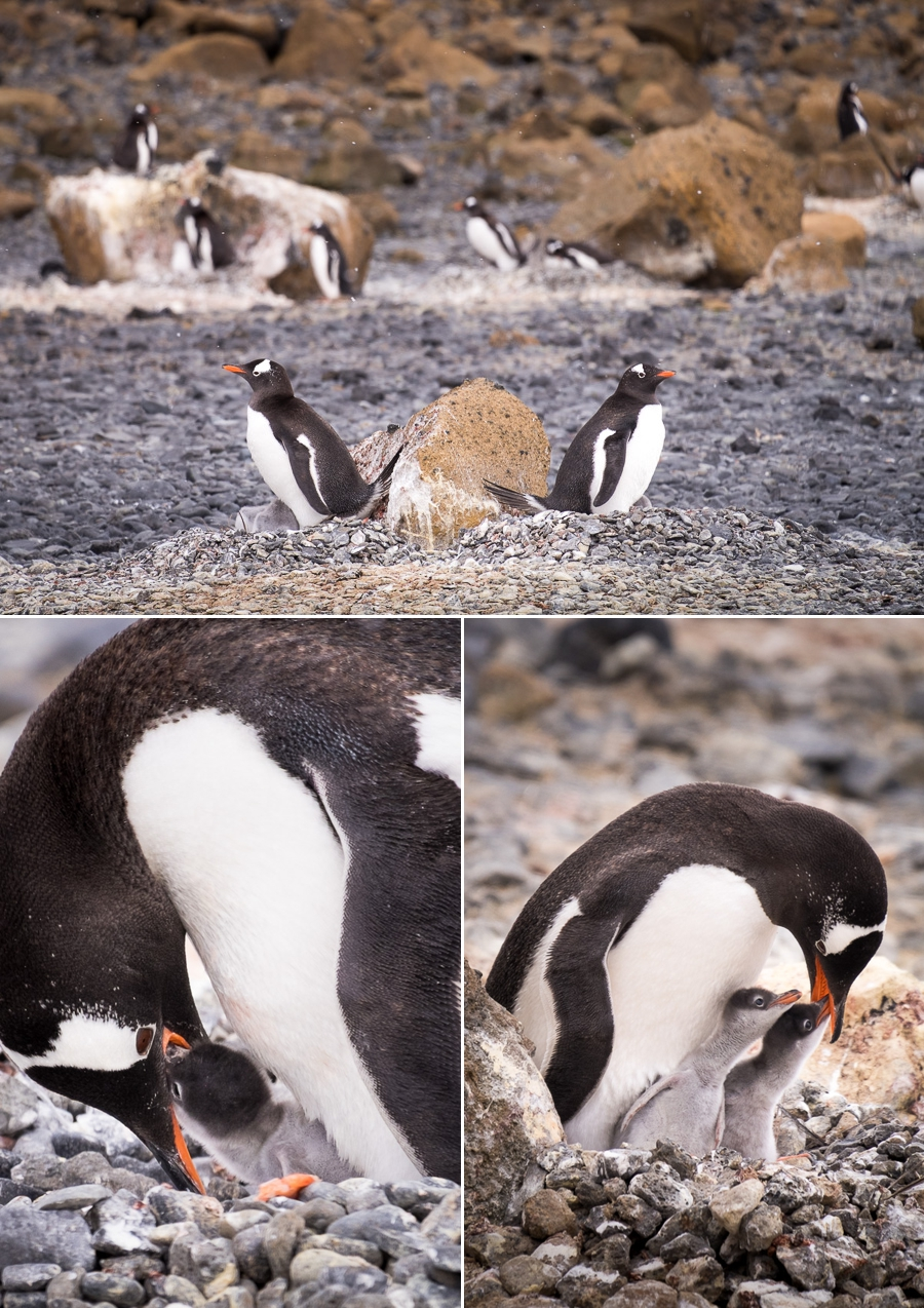 Gentoo Penguins and their chicks - Brown Bluff - Antarctic Peninsula