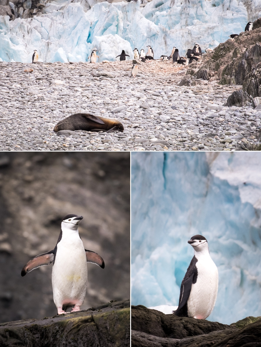 Chinstrap Penguins - Cape Lookout - Elephant Island - Antarctic Peninsula