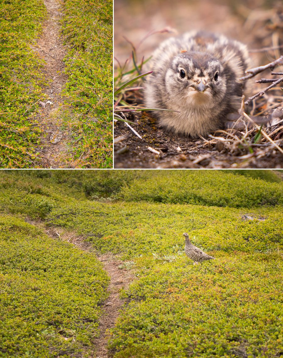 Images of camouflaged baby birds and their mother on the trail of the Waterfall Hike near Igaliku in South Greenland