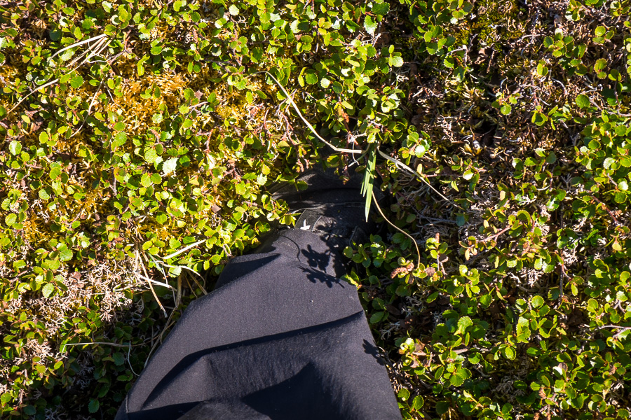 My foot, buried to the ankle in arctic vegetation, on my hike around Narsaq in South Greenland