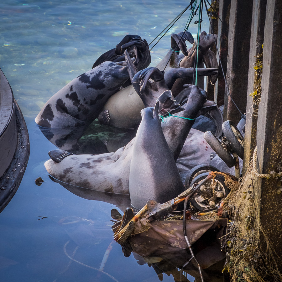 Dead seals tied to the dock and refrigerated in the water of Kulusuk Harbor