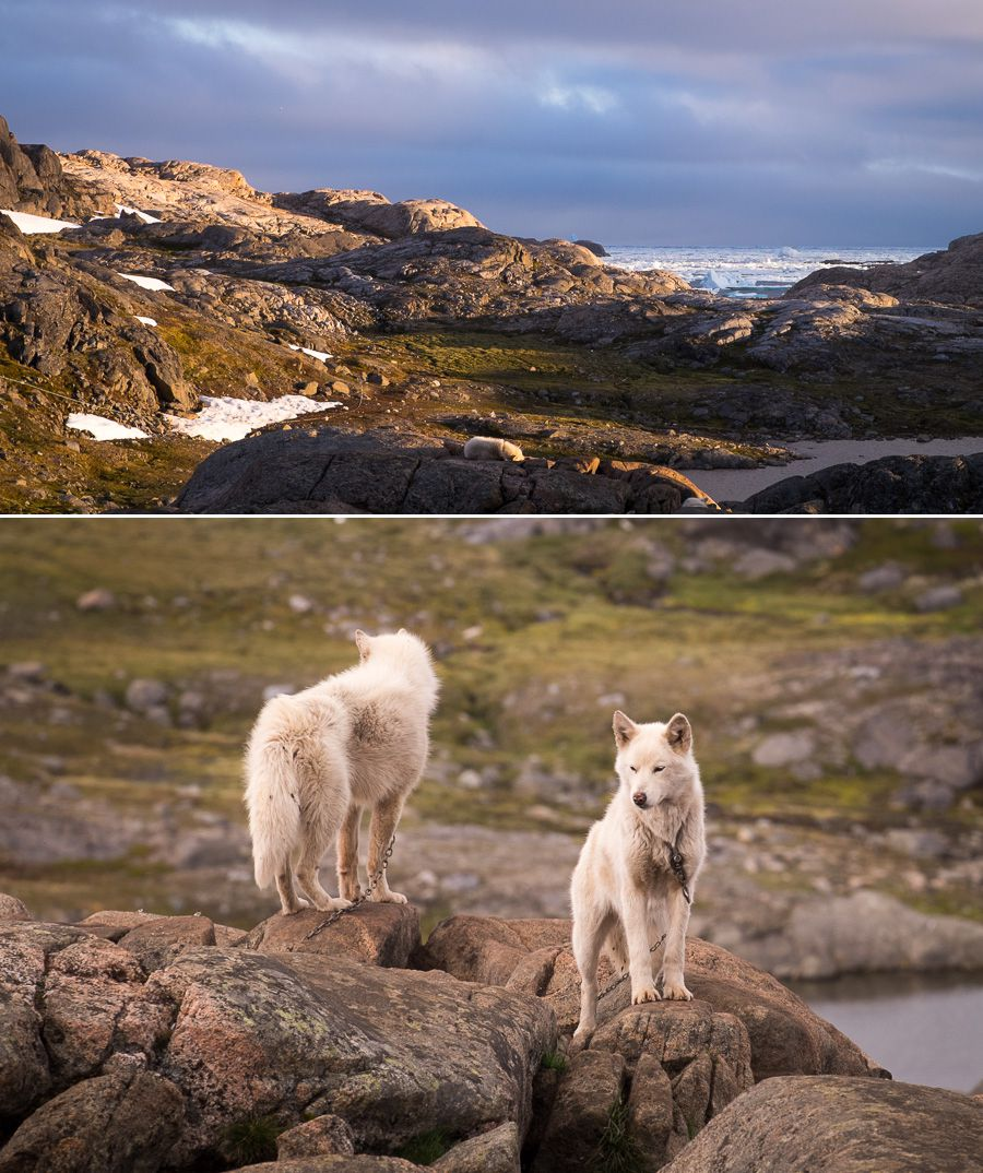 Greenland sled dogs on their chains in front of the Kulusuk Hostel in East Greenland