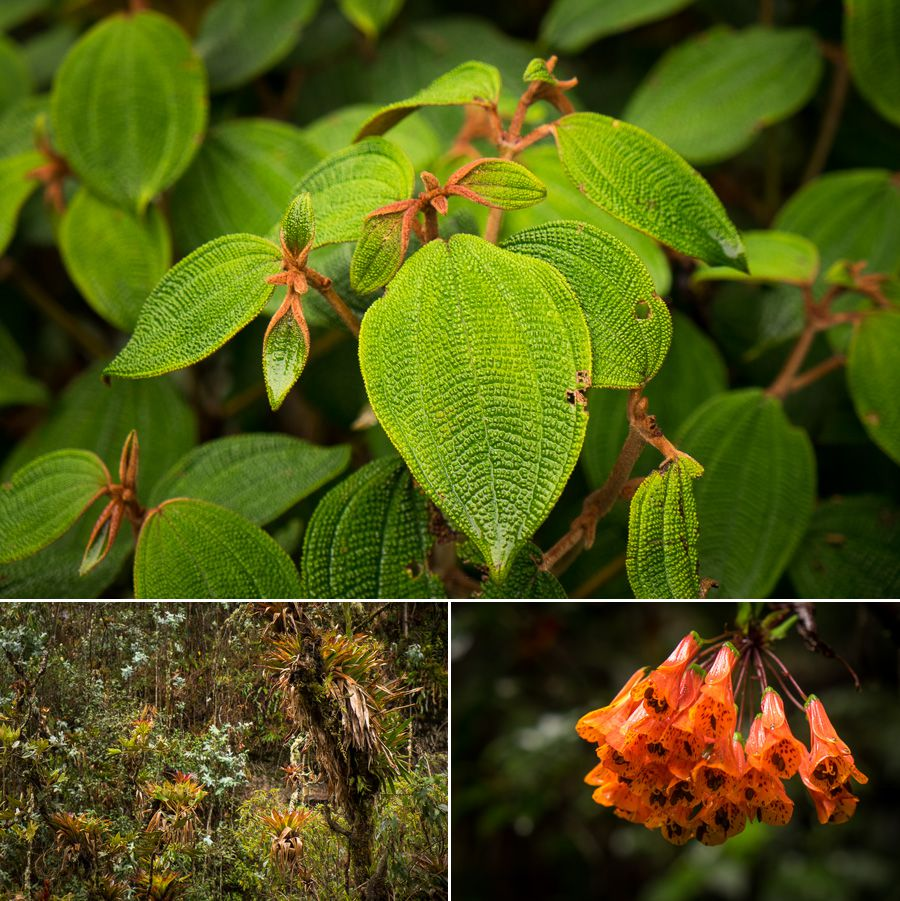 Plant life along the hiking trail to the Cascada Condor Machay near Quito, Ecuador