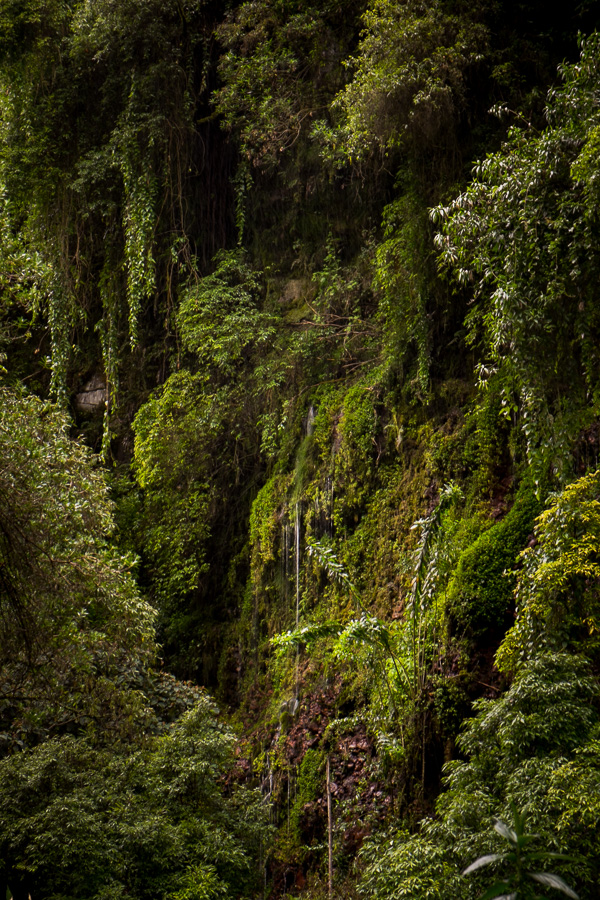 A wall of green plants seen from the hiking path to Cascada Condor Machay near Quito, Ecuador