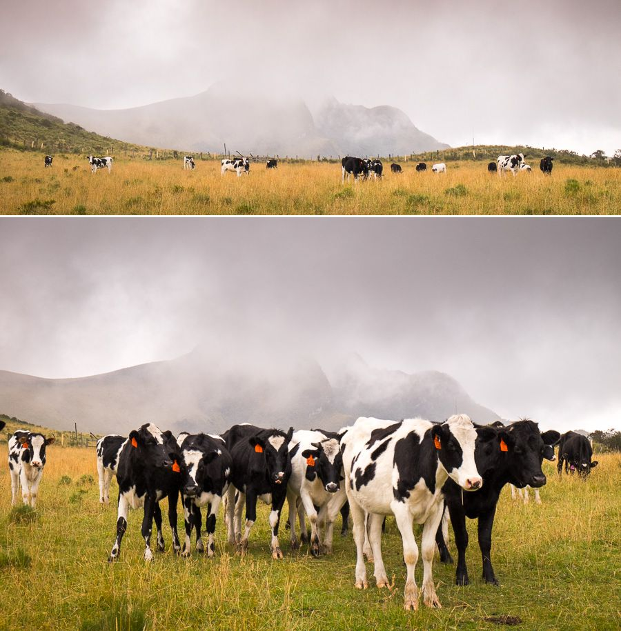 Cows blocking our hiking route to the summit of Volcán Pasochoa near Quito, Ecuador