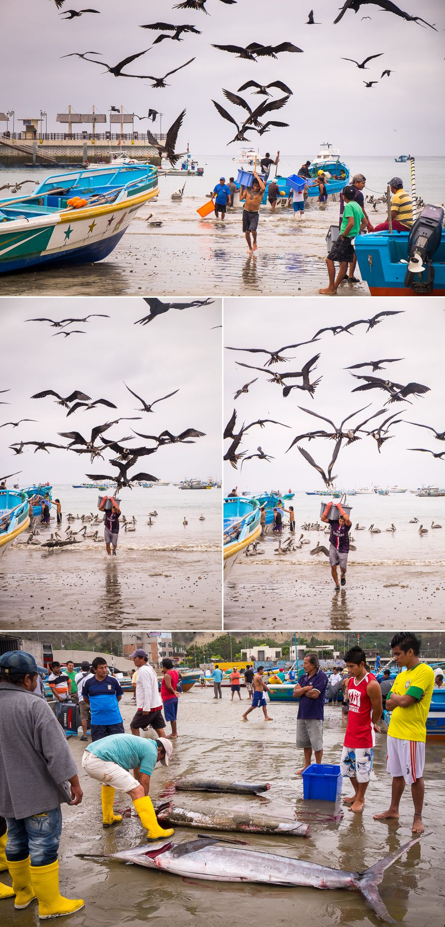 Scenes at the fish market as hundreds of birds swoop the men carrying buckets of fish from the boats - Puerto Lopez, Ecuador