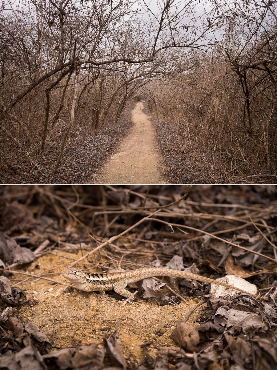 Dry shrubs line the hiking path to Los Frailles beach, and one of the lizards that was making all the noise - Ecuador