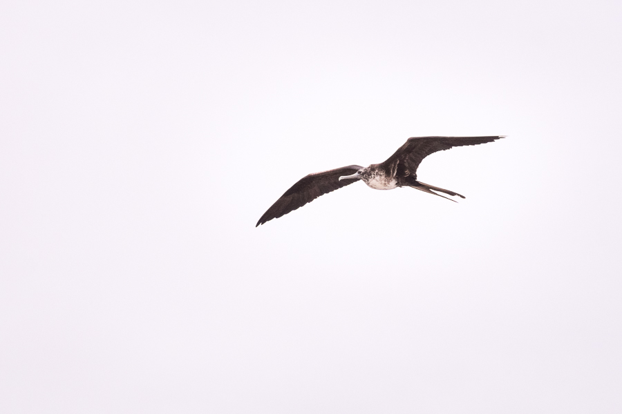 Frigate bird flying over Tortuga Bay on Santa Cruz Island in the Galapagos