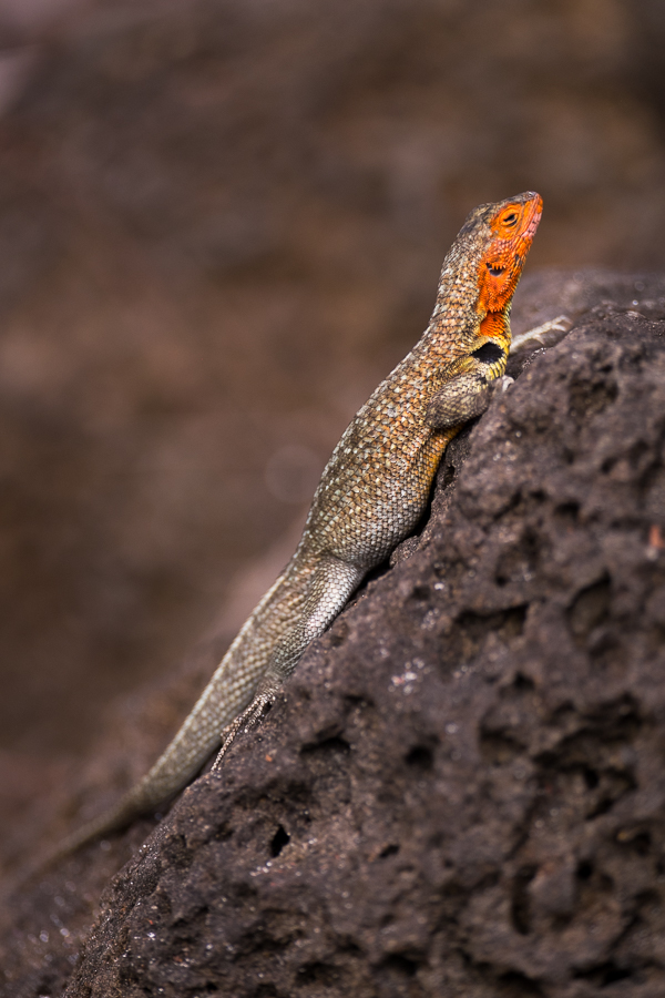 Lava Lizard on a rock, clearly showing the bright orange neck and face. Santa Cruz Island, Galapagos.