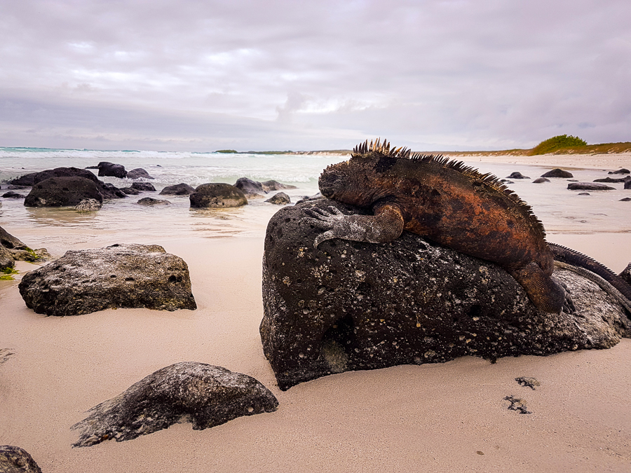 Galapagos Marine Iguana on a rock at Tortuga Bay on Santa Cruz, Galapagos