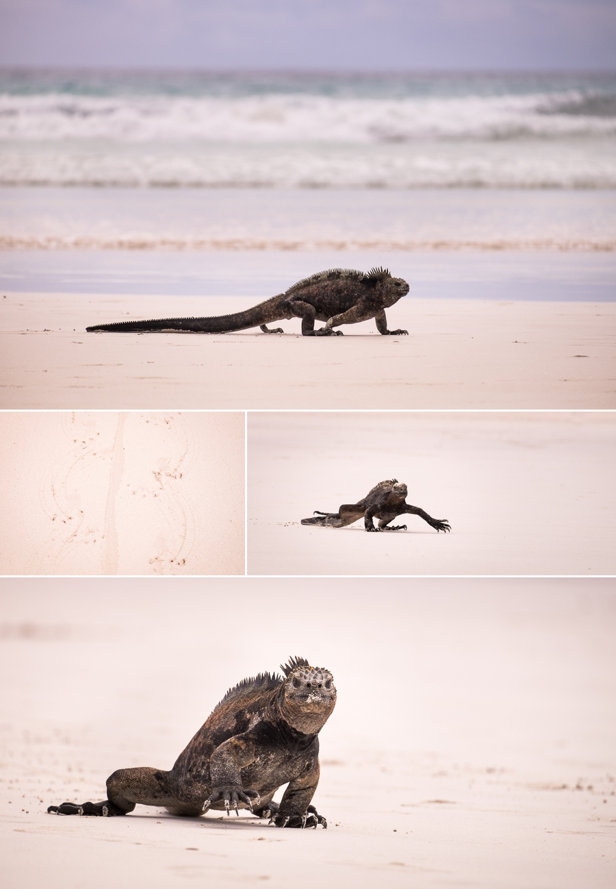 Galapagos Marine Iguana walking along the Tortuga Bay beach on Santa Cruz Island, Galapagos
