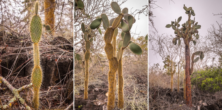 3 stages of evolution of the trunk of an Opuntia cactus, Santa Cruz Island, Galapagos