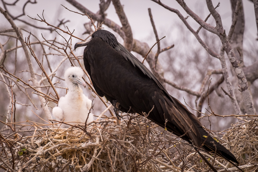 Frigatebird and chick sitting in the nest on North Seymour Island, Galapagos