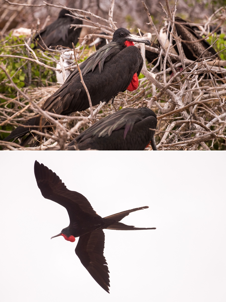 Male frigatebirds showing the red sac, on North Seymour Island, Galapagos