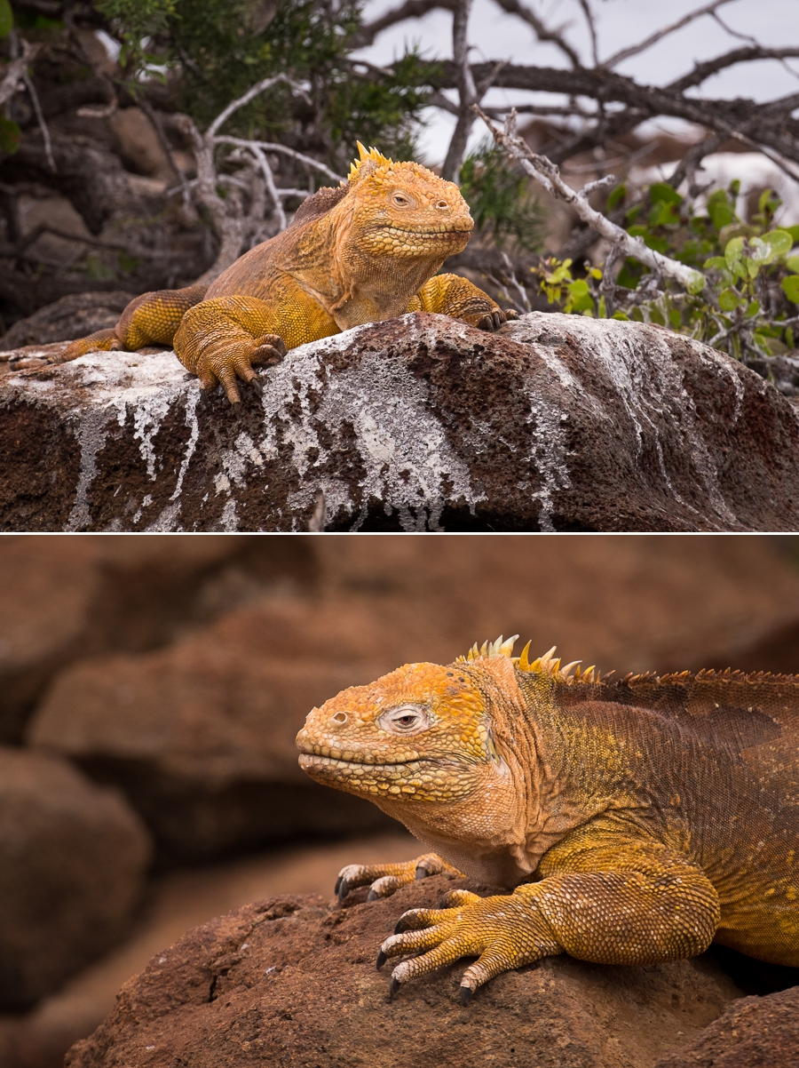 Male land iguana on the hike on North Seymour Island, Galapagos