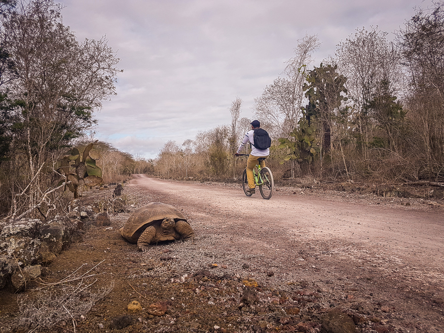 Cyclist passing a Galapagos giant land tortoise along the Tortoise Way on Isla Isabela
