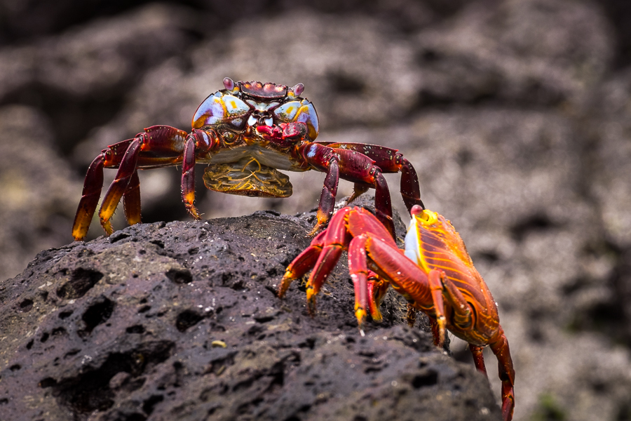 Male and female Sally-Lightfoot Crabs on a rock at Tortuga Bay on Santa Cruz, Galapagos