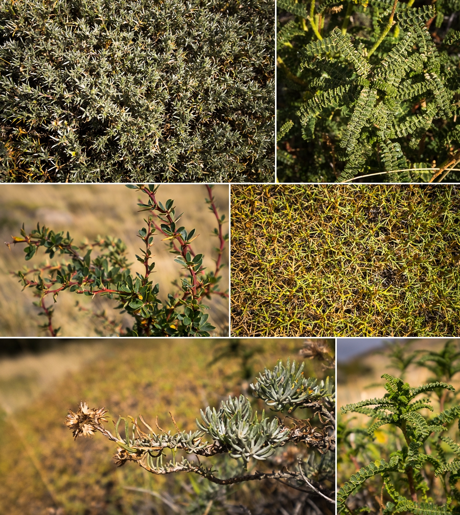 Vegetation of the Patagonian steppe - El Chaltén - Argentina