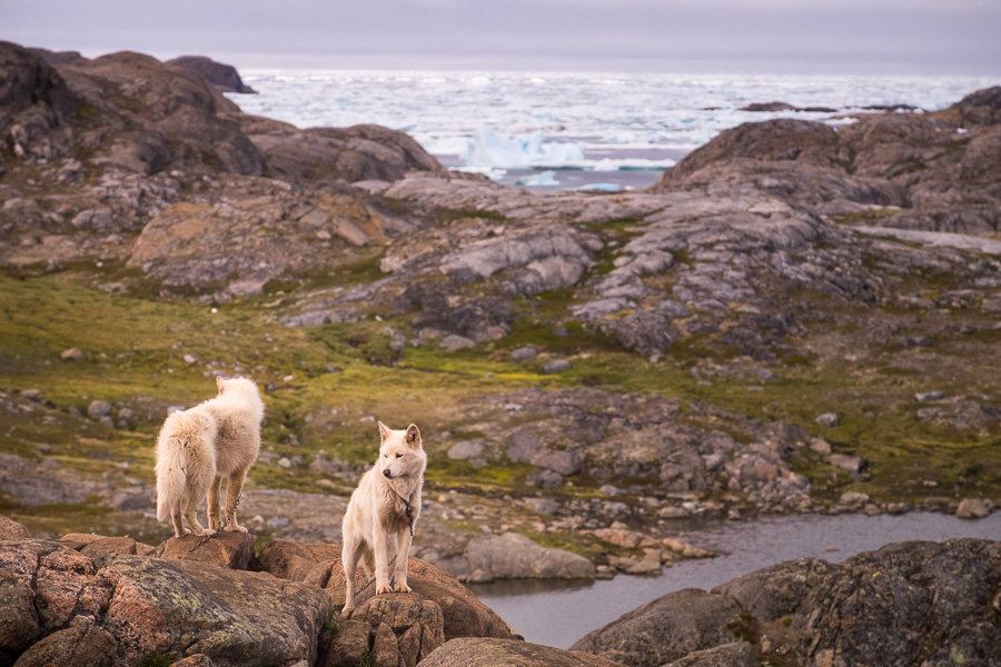 Greenlandic sled dogs in Kulusuk - East Greenland