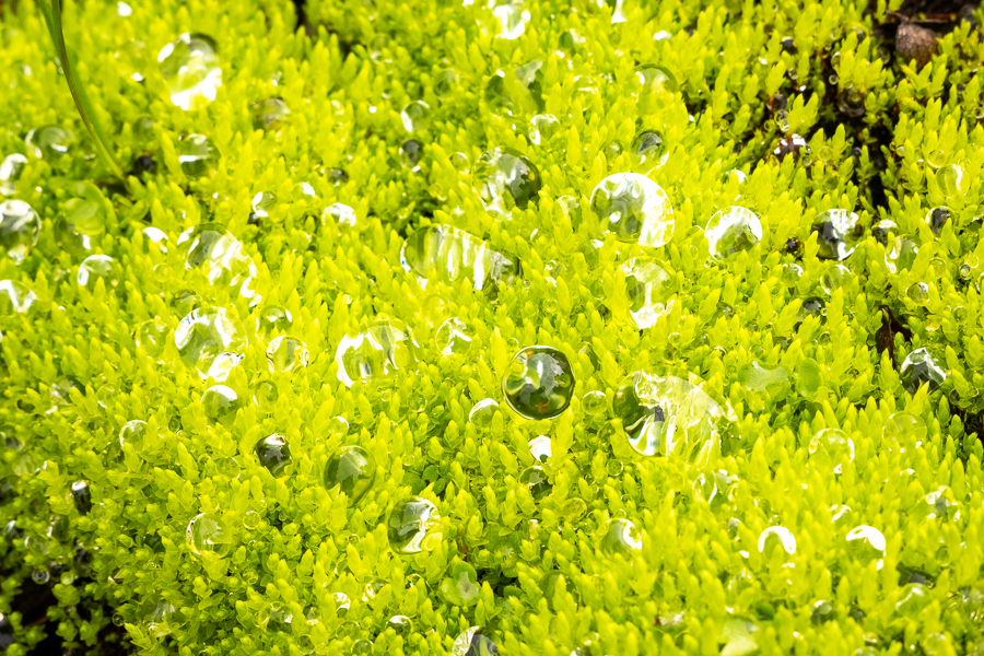 Bright green moss holding drops of water - - Shadow of Vatnajokull - East Iceland