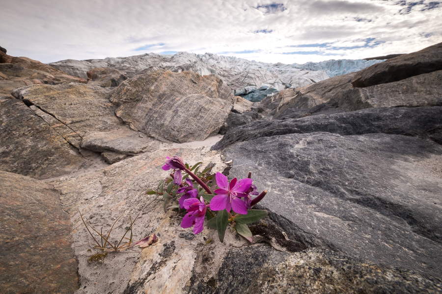 The purple Niviarsiaq - Greenland's national flower - growing between the rocks in front of the Russell Glacier near Kangerlussuaq, West Greenland