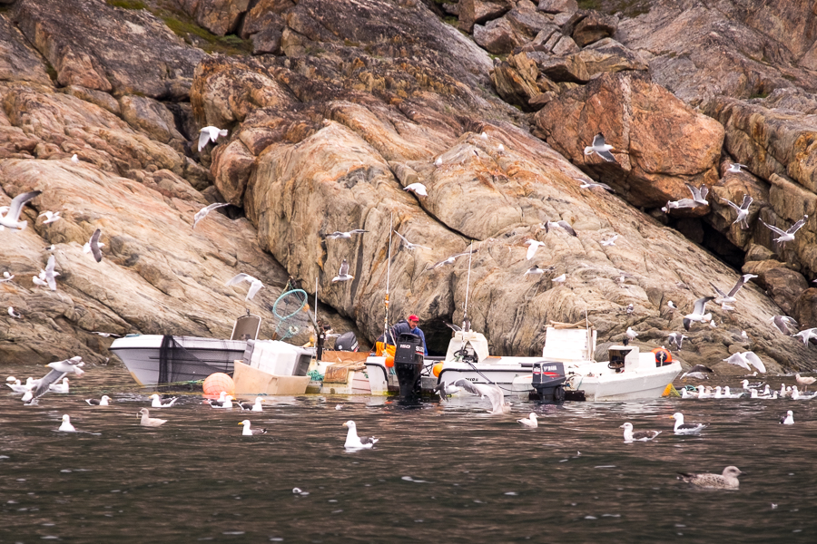 Fisherman being swarmed by seagulls as he attempts to check his nets from his boat - near Sisimiut - West Greenland