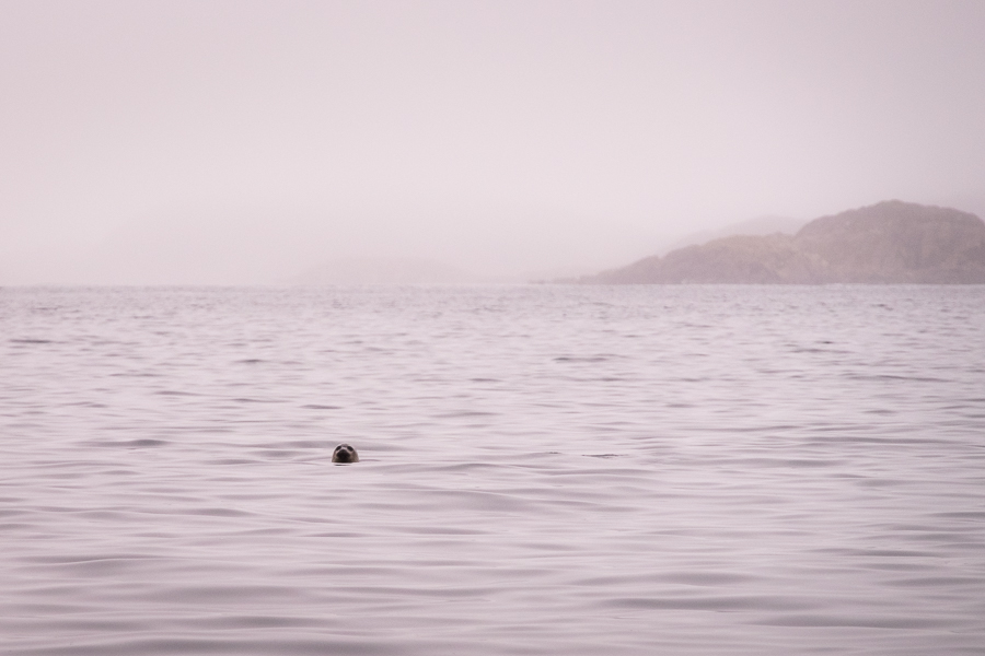 head of a seal poking out of the ocean - Sisimiut - West Greenland