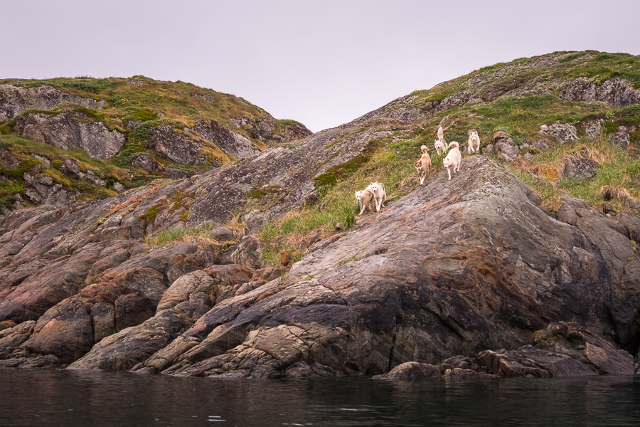 Pack of 5 Greenlandic Sled Dogs on and island off Sisimiut, West Greenland
