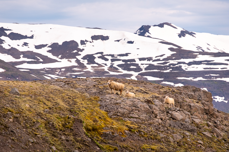 Icelandic Sheep along our path