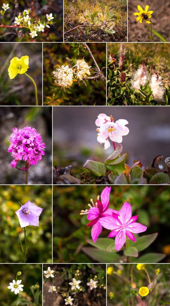 Montage of flowers found along the Arctic Circle trail in late August. West Greenland
