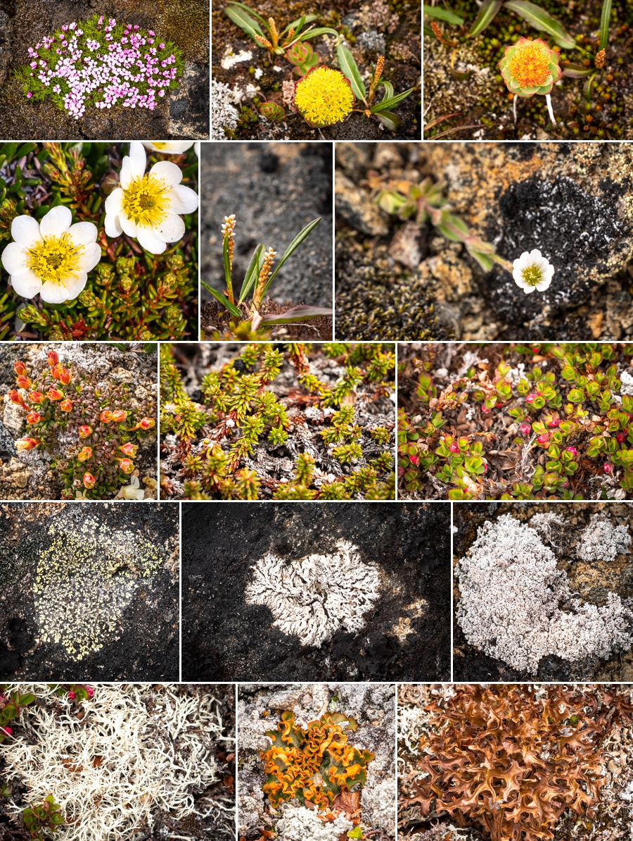 Wildflowers and lichen at the top of the Sermilik Way pass - Ammassalik Island - East Greenland