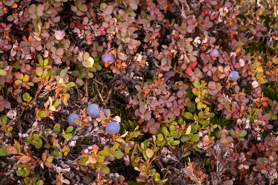 Wild blueberries - Arctic Circle Trail - West Greenland