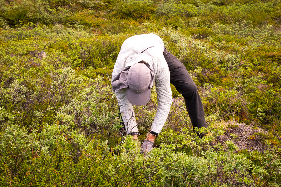Tyson picking wild blueberries along the  Arctic Circle Trail - West Greenland