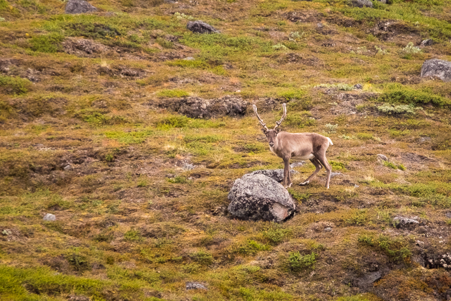 Reindeer along the Arctic Circle Trail - West Greenland