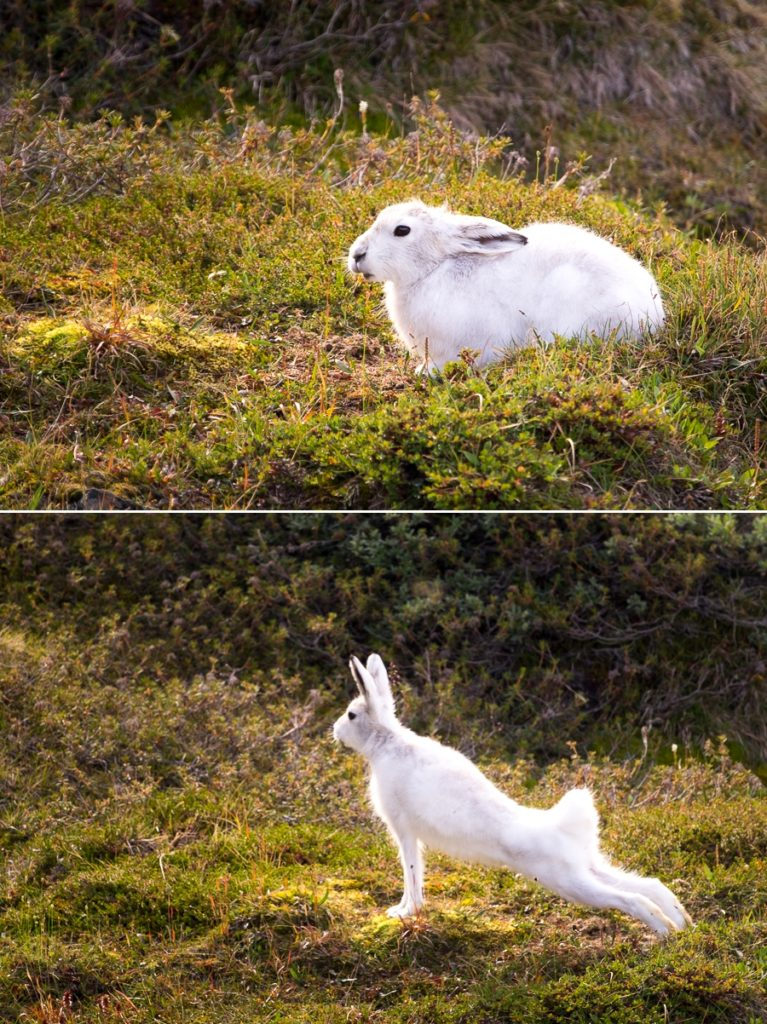 Arctic Hare sitting and stretching - Arctic Circle Trail - West Greenland