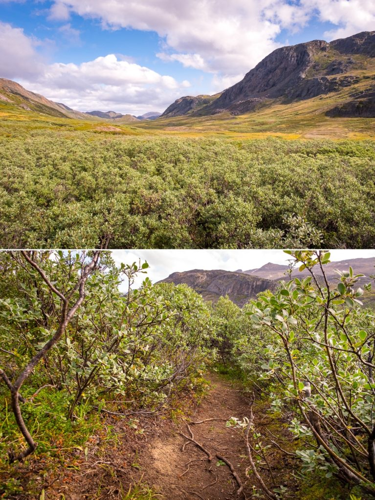 Forest of arctic willow - Arctic Circle Trail - West Greenland