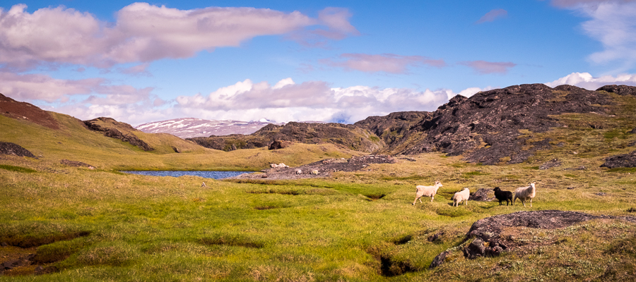 Sheep and green grass along the hike from Sillisit to Qassiarsuk in South Greenland