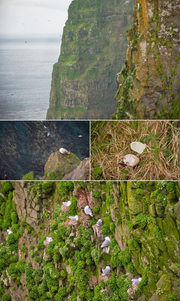 Looking along the Hornbjarg cliffs at the birds nesting there - Hornstrandir - Iceland