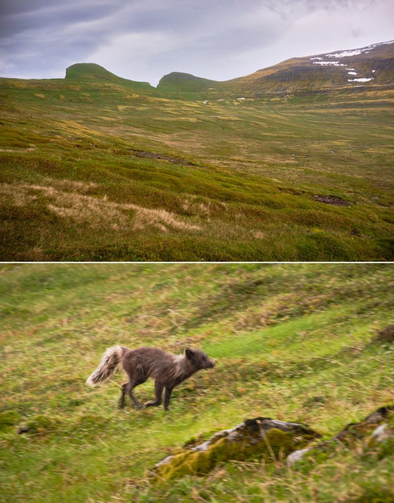 Bush bashing to try to find the trail (top) and a sprinting Arctic Fox (bottom) - Hornbjarg - Hornstrandir - Iceland
