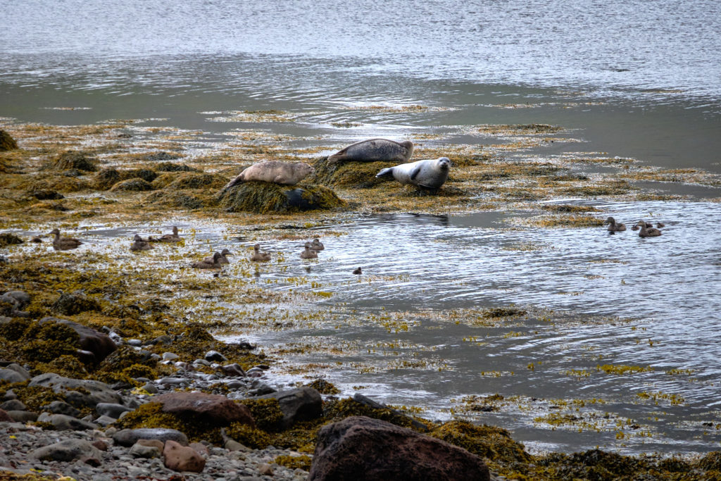 Seals resting on the rocks near the trail to the old whaling station at Sekkeyri near Hesteyri - Hornstrandir - Iceland