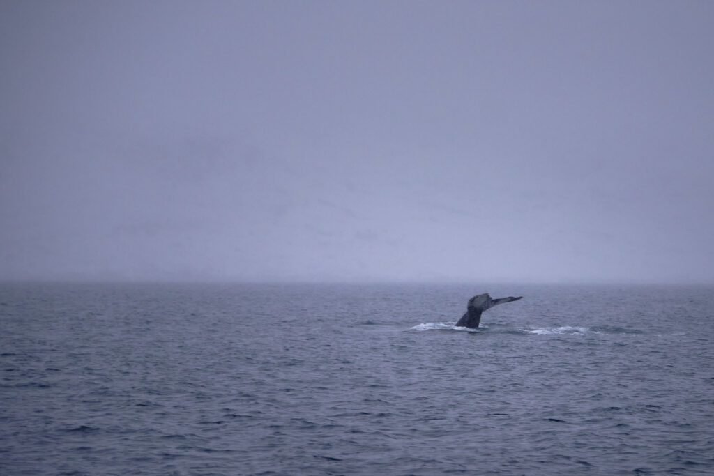 Humpback whale tail in December near Nuuk