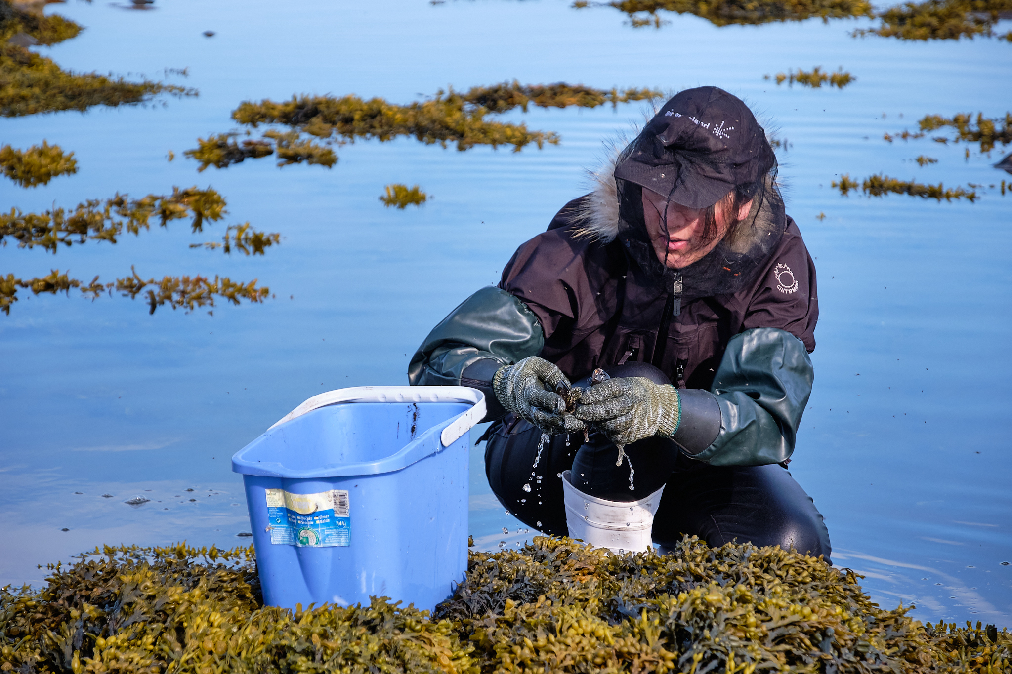 collecting mussels Sassannguit - Sisimiut - Greenland