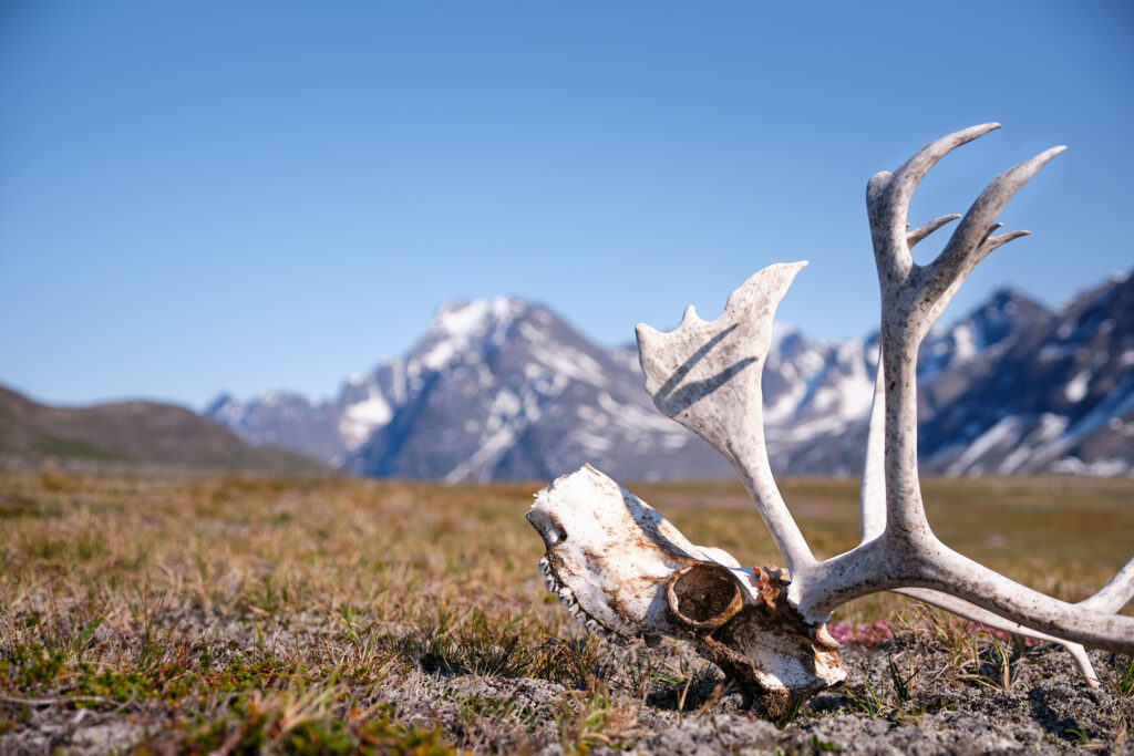 reindeer skull on the hike up the valley from Sassannguit - Sisimiut - Greenland