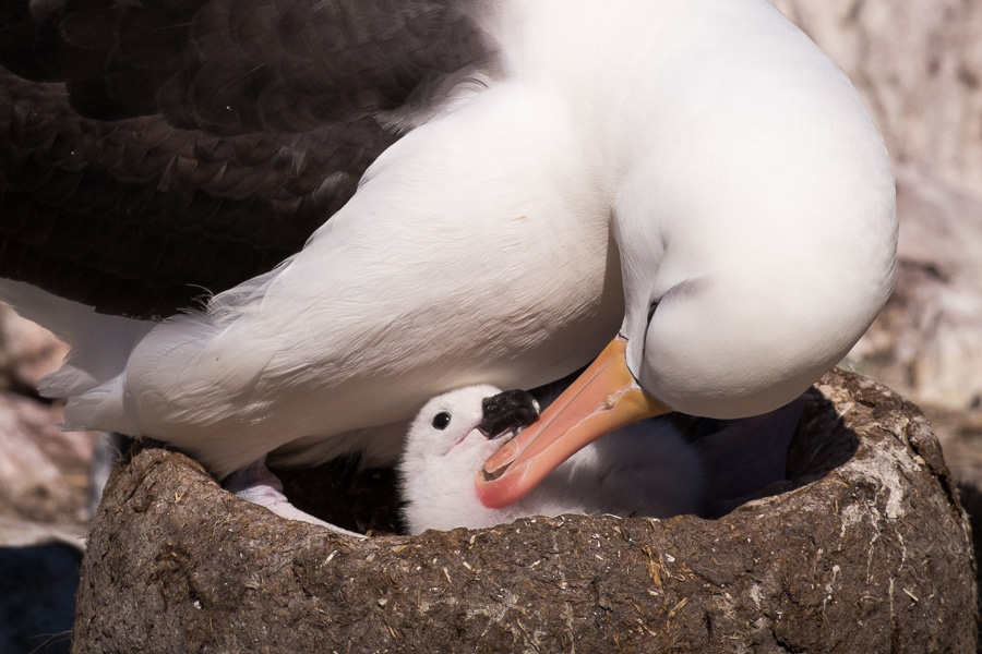 Albatross - Falkland Islands